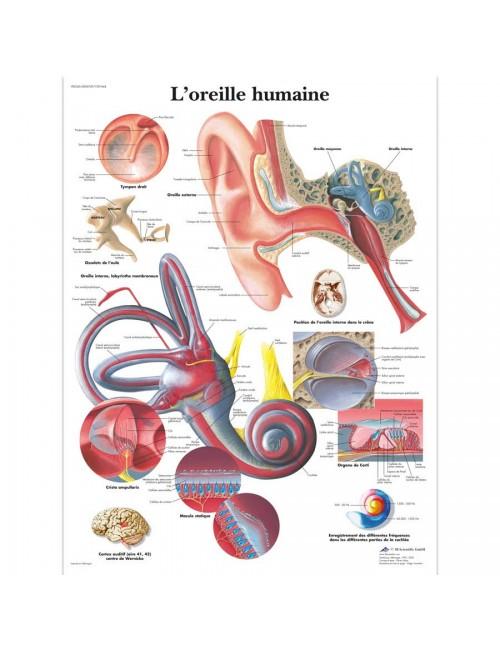PLANCHE ANATOMIQUE DE L'OREILLE HUMAINE
