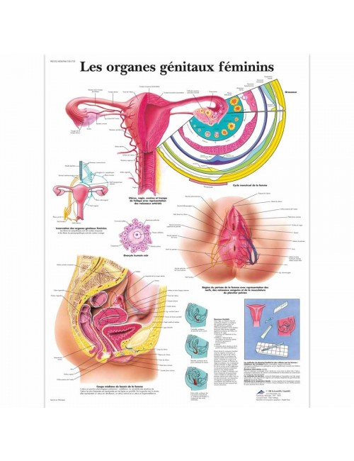 PLANCHE ANATOMIQUE DES ORGANES GENITAUX FEMININS