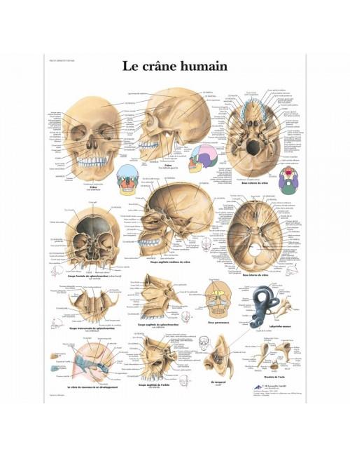 PLANCHE ANATOMIQUE CRANE HUMAIN