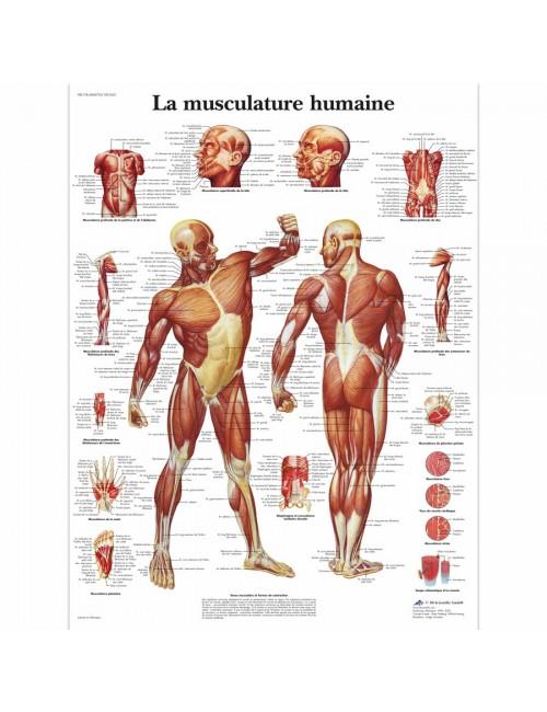PLANCHE ANATOMIQUE MUSCULATURE HUMAINE